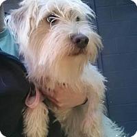 Adopt A Pet :: Amberle - Austin, TX