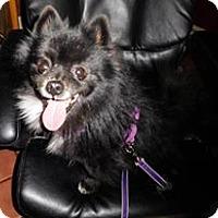 Adopt A Pet :: Gilmore - Gilbert, AZ