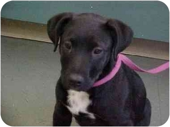 Labrador Retriever/Rottweiler Mix Puppy for adoption in Ephrata, Pennsylvania - Lab mix boys/girls