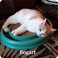 Adopt A Pet :: Bogart - Bentonville, AR