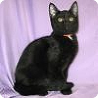 Domestic Shorthair Cat for adoption in Powell, Ohio - Roxanne