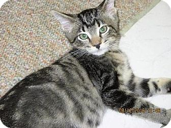 Domestic Shorthair Cat for adoption in Owatonna, Minnesota - George
