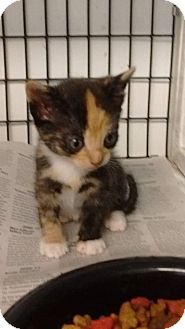 Calico Kitten for adoption in Jefferson, North Carolina - Paisley