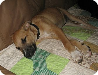 Black Mouth Cur/Shepherd (Unknown Type) Mix Puppy for adoption in Somerset, Kentucky - Marcus-ADOPTED