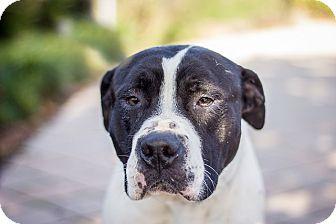 American Pit Bull Terrier Mix Dog for adoption in Berkeley, California - Bob