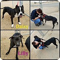 Adopt A Pet :: Daisy - California City, CA