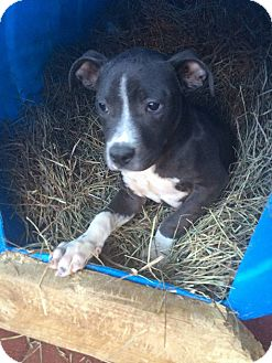 Pit Bull Terrier Mix Puppy for adoption in Laingsburg, Michigan - Sparty