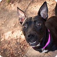 Pit Bull Terrier Mix Dog for adoption in Rochester, New York - Pepper