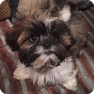 Shih Tzu Puppy for adoption in Los Angeles, California - REGGIE