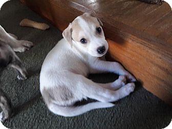 Black Mouth Cur/Labrador Retriever Mix Puppy for adoption in Jacksonville, Florida - Peter Parker