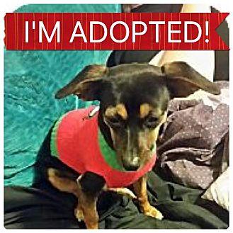 Chihuahua/Miniature Pinscher Mix Dog for adoption in Regina, Saskatchewan - Girlie