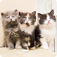 Adopt A Pet :: Bear Cubs - Chicago, IL