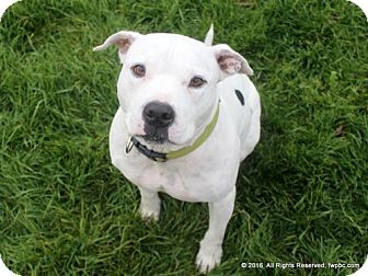 Pit Bull Terrier Mix Dog for adoption in Fort Wayne, Indiana - Dozer
