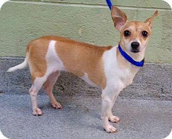 Chihuahua Mix Dog for adoption in Philadelphia, Pennsylvania - EVELYNE