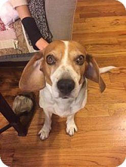 Beagle Mix Dog for adoption in Ozone Park, New York - Palu