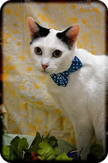 Domestic Shorthair Cat for adoption in Orlando, Florida - Zoe