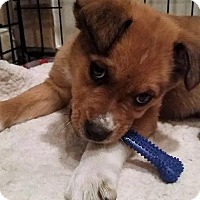 Adopt A Pet :: Ham - Littleton, CO