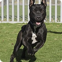 Adopt A Pet :: Goddess (BELLA) - Palm Springs, CA
