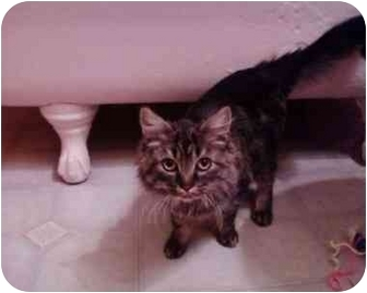 Domestic Longhair Cat for adoption in Erie, Pennsylvania - Coming Soon! Lucy