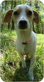 Chihuahua/Whippet Mix Dog for adoption in Spring Valley, New York - CheeWaaWaa (CR)