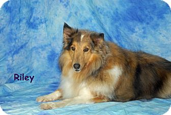 Sheltie, Shetland Sheepdog Dog for adoption in Ft. Myers, Florida - Riley