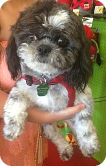 Shih Tzu Mix Dog for adoption in Encinitas, California - Ramen