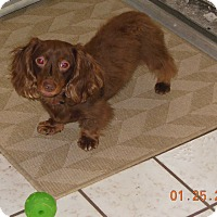 Adopt A Pet :: Cocoa - Pinellas Park, FL