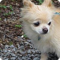 Adopt A Pet :: Sweetpea - Huddleston, VA