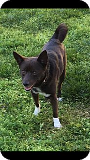 Schipperke Mix Dog for adoption in Va Beach, Virginia - Tessa