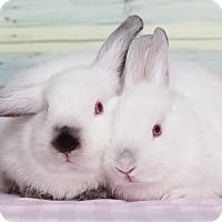 Adopt A Pet :: Fenella - Los Angeles, CA