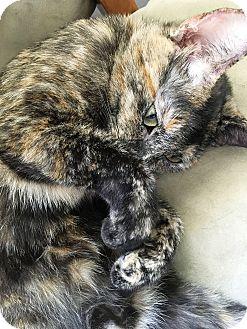 Calico Cat for adoption in Orange, California - Confetti