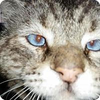 Siamese Cat for adoption in Glendale, Arizona - Oscar