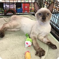Adopt A Pet :: Calvin - Gilbert, AZ