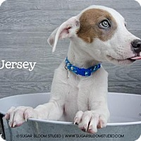American Bulldog Mix Puppy for adoption in Denver, Colorado - Jersey