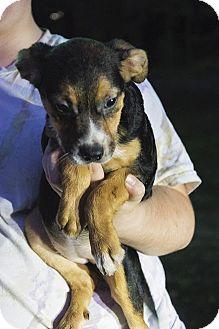 Chesapeake Bay Retriever/Beagle Mix Puppy for adoption in Hagerstown, Maryland - Josephine