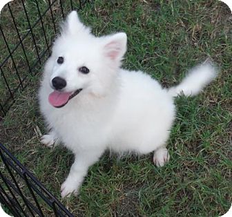 American Eskimo Dog Puppy for adoption in Flanders, New Jersey - Zoom