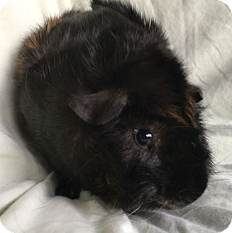 Guinea Pig for adoption in Steger, Illinois - Jax