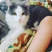 Domestic Longhair Cat for adoption in Lexington, Kentucky - August