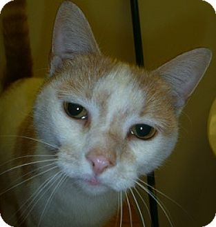 Domestic Shorthair Cat for adoption in Hamburg, New York - Baby