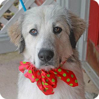 Great Pyrenees Dog for adoption in Garfield Heights, Ohio - Jack-PENDING