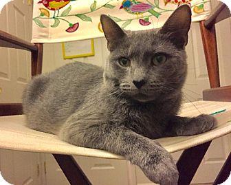 Domestic Shorthair Cat for adoption in Rochester, New York - Elle
