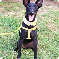 Adopt A Pet :: Bomie - Castro Valley, CA