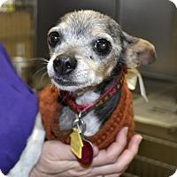Adopt A Pet :: Candy Blue - Independence, MO