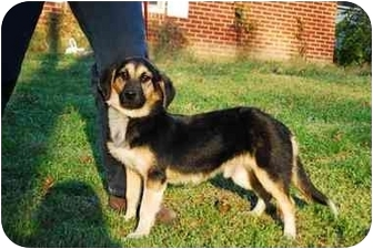 Dachshund/German Shepherd Dog Mix Puppy for adoption in Bowie, Maryland - Casey