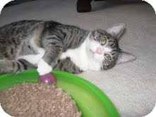 Domestic Shorthair Cat for adoption in Arlington, Virginia - Lizzy