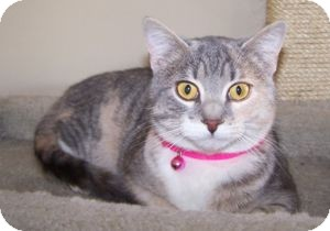 Domestic Shorthair Kitten for adoption in Colorado Springs, Colorado - Abbey