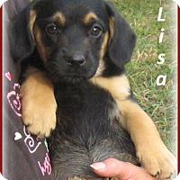 Adopt A Pet :: Lisa-Adoption Pending - Marlborough, MA