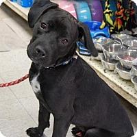 Adopt A Pet :: Mance - Brooklyn, NY