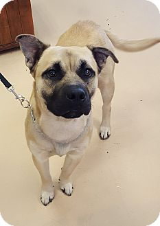 Shepherd (Unknown Type) Mix Dog for adoption in Walden, New York - Parker
