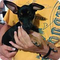 Miniature Pinscher/Jack Russell Terrier Mix Puppy for adoption in Tijeras, New Mexico - Avvison